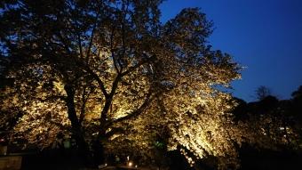 庭園テラスの桜