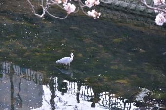 大岡川にいた鳥