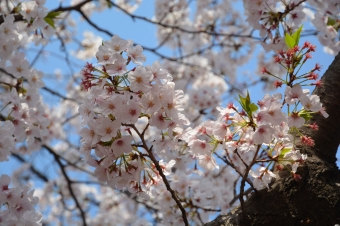大岡川の桜:アップ