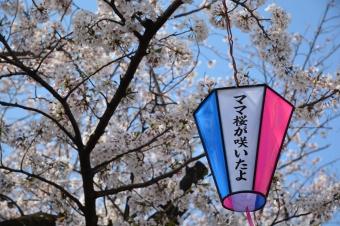 大岡川の桜:ママ桜が咲いたよ