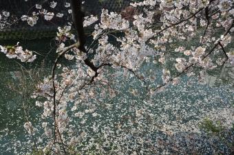 花びらが流れる大岡川