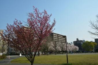蒔田公園の桜