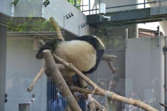 パンダ:シャンシャン